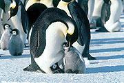 癒されたい?「皇帝ペンギン」