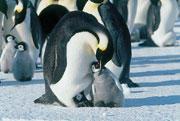 フランス代表の座を奪われた「皇帝ペンギン」