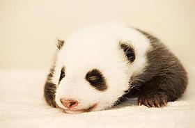 前売り特典の小さなパンダのぬいぐるみも人気「51(ウーイー) 世界で一番小さく生まれたパンダ」
