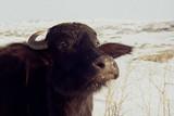 牛は語らない ボーダー