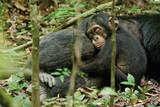 ディズニーネイチャー チンパンジー 愛すべき大家族