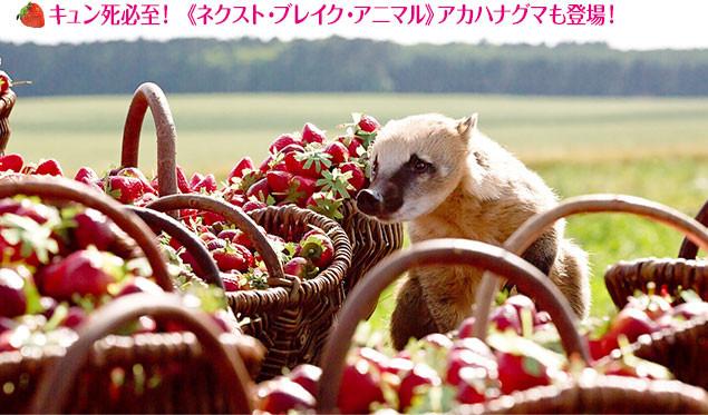 ヨーロッパではポピュラーなアカハナグマは、日本でも人気がブレイクする予感!