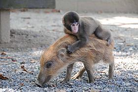 子猿のみわちゃんとウリ坊が鬼ごっこ「リアル鬼ごっこ」