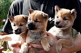 子犬時代のひまわり「ひまわりと子犬の7日間」