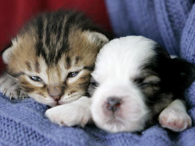 2014年のスーパーボウルサンデーに子ネコと子犬がガチンコ対決