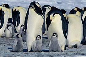 「皇帝ペンギン」(2005)「皇帝ペンギン」