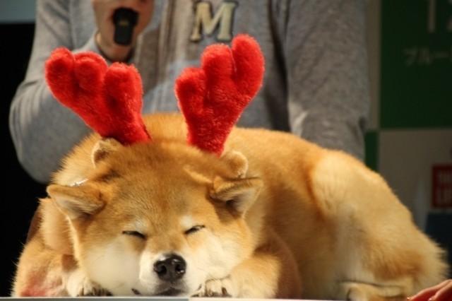 吉田沙保里、初対面の人気犬・柴犬まるにメロメロ「むっちゃかわいいー!」 - 画像3