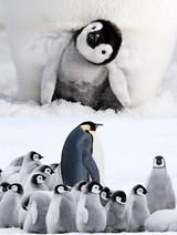 アカデミー賞ドキュメンタリー12年ぶりの続編「皇帝ペンギン ただいま」予告編公開