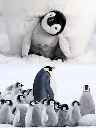 12年ぶりに、あの感動が帰ってくる!「皇帝ペンギン ただいま」