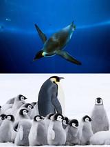 """「皇帝ペンギン ただいま」が""""南極海史上最長・最深""""の水中撮影を実現していた!"""