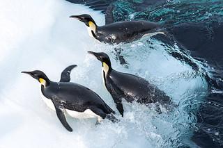 """南極海""""史上最深""""で泳ぐペンギンを撮影成功!「皇帝ペンギン」水泳映像公開"""