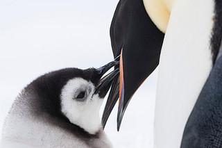 """""""モフモフ""""子ペンギンがかわいすぎる!「皇帝ペンギン」本編映像"""