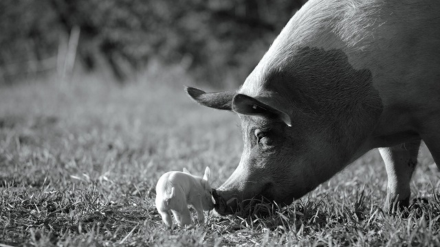 """母豚""""GUNDA""""と農場に暮らす動物たちの深遠なる世界を活写"""