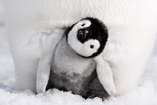 「皇帝ペンギン ただいま」ジャパンプレミア